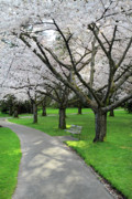 Cherry Blossoms Photos - Cherry Blossoms in Stanley park Vancouver by Pierre Leclerc
