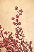 Cherry Blossom Prints - Cherry Blossoms Print by Iris Lehnhardt