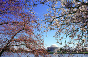 Jefferson Memorial Tapestries Textiles - Cherry Blossoms Jefferson Memorial by Thomas R Fletcher