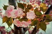 Cherry Blossom Prints - Cherry Blossoms Kanzan Four Print by Susan Isakson