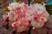 Virginia Art - Cherry Blossoms Kanzan Seven by Susan Isakson