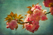 Cherry Blossom Framed Prints - Cherry Blossoms Kanzan Six Framed Print by Susan Isakson