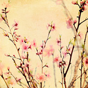 Cherry Art Framed Prints - Cherry Blossoms Framed Print by Kim Fearheiley