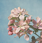 Floral Photographs Posters - Cherry Blossoms Poster by Kim Hojnacki