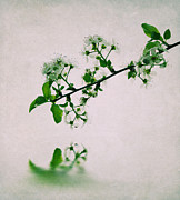 Color Green Photo Posters - Cherry Blossoms Poster by Kristin Kreet