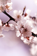 Stamen Photos - Cherry Blossoms by Lindsay Miles-Pickup