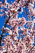 Cherry Blossoms Print by Mauricio Jimenez