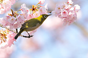 Japanese White Eye Posters - Cherry Blossoms Poster by Myu-myu