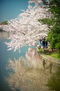 Cherry Blossom Prints - Cherry Blossoms on the Edge of the Tidal Basin Print by Susan Isakson