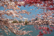 Boaters Photo Prints - Cherry Blossoms on the Edge of the Tidal Basin Three Print by Susan Isakson