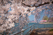 Cherry Blossom Prints - Cherry Blossoms on the Potomac Five Print by Susan Isakson