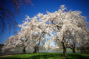 Cherry Blossom Prints - Cherry Blossoms on the Potomac Print by Susan Isakson