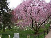 Cherry Blossoms Photo Originals - Cherry Blossoms Over Arlington National by Tracy Dugas