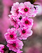 Plant Greeting Cards Prints - Cherry Blossoms Print by Robert Bales