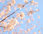 Cherry Blossom Prints - Cherry Blossoms Print by Takau99