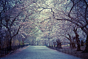 Central Park Prints - Cherry Blossoms Trees Print by Vivienne Gucwa