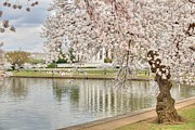 Thomas Jefferson Photo Prints - Cherry Blossoms Washington DC 6 Print by Metro DC Photography