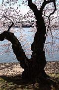 Cherry Blossoms Washington Dc Print by Wayne Higgs