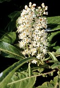 Ornamental Plants Posters - Cherry Laurel (prunus Laurocerasus) Poster by Adrian T Sumner