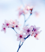 Blossoming Tree Prints - Cherry Plum Blossom (prunus Cerasifera) Print by Maria Mosolova
