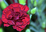 Cherry Red Carnation Print by Sandi OReilly