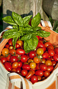 Harvested Metal Prints - Cherry Tomato Harvest Metal Print by John Greim