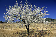 Provencal Prints - Cherry tree Print by Bernard Jaubert