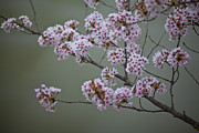 Cherry Blossom Prints - Cherry Tree Blossoms Hang Print by Hannele Lahti