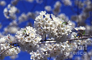 Ornamental Plants Prints - Cherry Tree Blossoms Print by Science Source