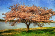 Tree Blossoms Digital Art Prints - Cherry Tree Print by Lois Bryan