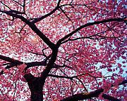 Cherry Blossoms Metal Prints - Cherry Tree Metal Print by Mitch Cat