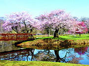 Flowering Trees Posters - Cherry Trees in the Park Poster by Susan Savad