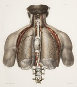 Vol Posters - Chest Anatomy, 19th Century Illustration Poster by