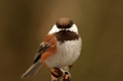 Backed Posters - Chestnut-backed Chickadee  Poster by Sharon  Talson