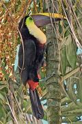 Toucan Digital Art Posters - Chestnut-billed Toucan Poster by Larry Linton