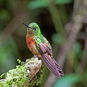 Ecuador Prints - Chestnut-breasted Coronet Print by Photography by Jean-Luc Baron