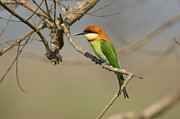 Twig Eater Prints - Chestnut-headed Bee-eater (merops Leschenaulti) Print by Nicholas Reuss