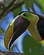 Chestnut Framed Prints - Chestnut-mandibled Toucan Framed Print by Larry Linton