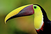 Side View Prints - Chestnut Mandibled Toucan Print by Photography by Jean-Luc Baron