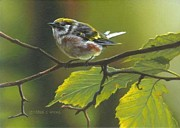Derek Wicks - Chestnut sided Warbler