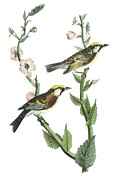 Warbler Paintings - Chestnut-sided Warbler by John James Audubon