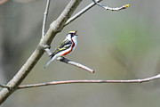 Singing Photo Originals - Chestnut sided Warbler Sings by Alan Lenk