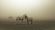Ranch Framed Prints - Chevaux Dans La Brume Framed Print by 1suisse.ch