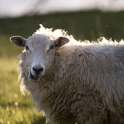 Sheep Photos - Chewing by Angel  Tarantella