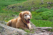 Golden Settings Pet Photography Photos - Chewy On The Rocks by Kara Kincade