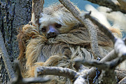 Sloth Metal Prints - CHI0007 Sloth Metal Print by Steve Sturgill