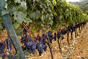 Blue Grapes Photographs Photos - Chianti Grapes by Christopher Brown