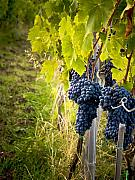 Wine Vineyard Photos - Chianti Grapes by Jim DeLillo