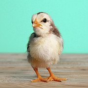 Baby Bird Photos - Chick On Wood by Retales Botijero