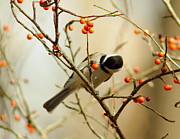 Black-capped Prints - Chickadee 1 Of 2 Print by Robert Frederick